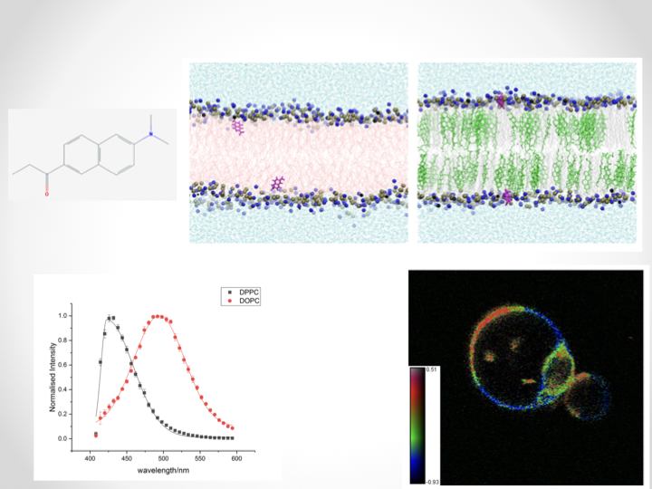 How do environmentally-sensitive dyes affect lipid membrane properties?
