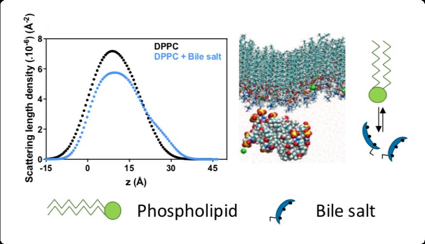 A molecular scale understanding of the mechanisms governing bile salt interfacial behaviour