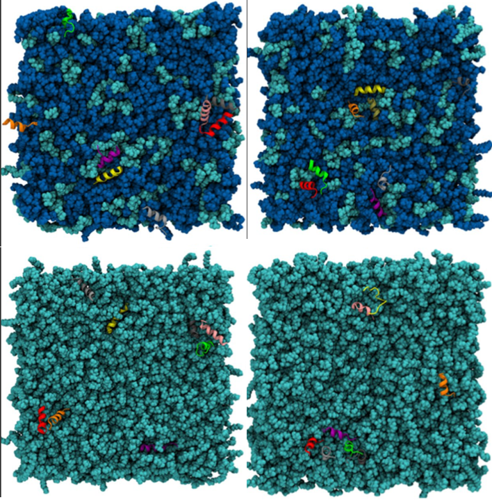 How do two α-helical antimicrobial peptides differ in their membrane and antibacterial activities?