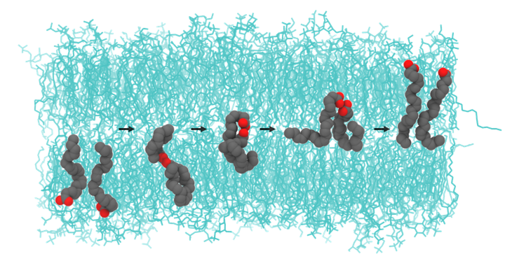 On the structure and flip-flop of free docosahexaenoic acid in a model human brain membrane